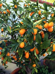 kumquats for asian food