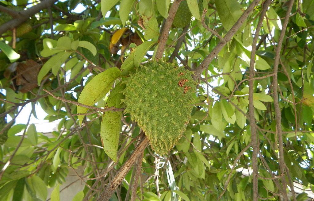 soursop in tree